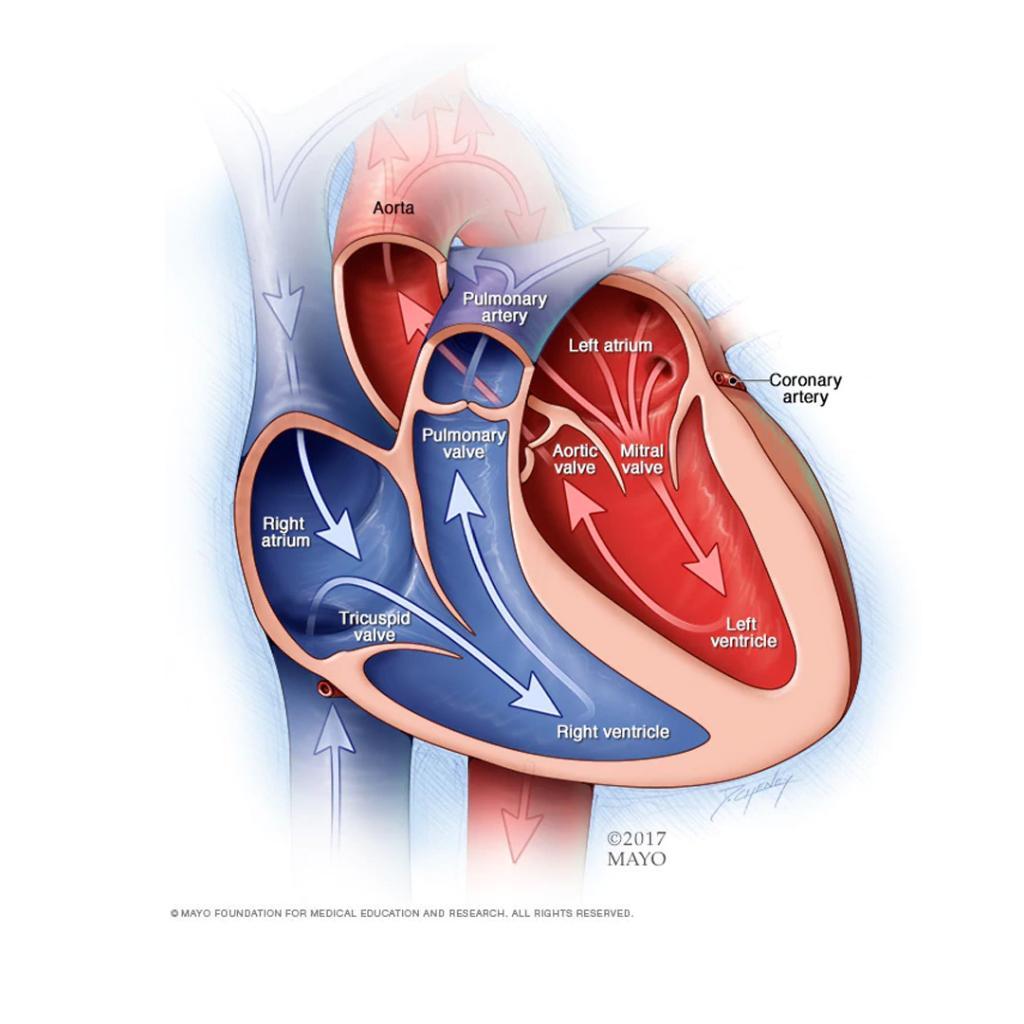 Heart diagram showing cardiac risk factors